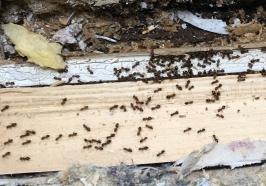 Ameisen bekämpfen durch Kammerjäger