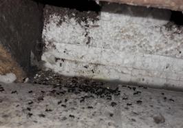 Pharoa Ameisen bekämpfen durch Kammerjäger
