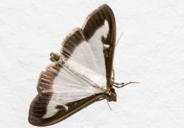 Schmetterling - Buchsbaumzünsler