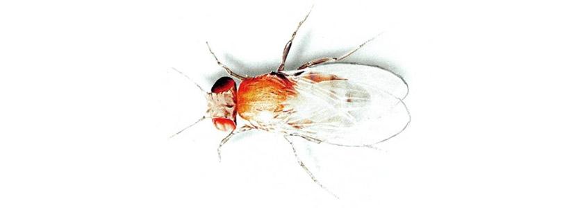 Fruchtfliegen bekämpfen durch Kammerjäger