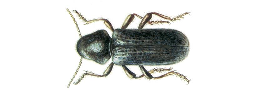 Käfer bekämpfen durch Kammerjäger