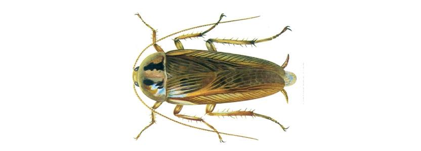 Kakerlaken bekämpfen durch Kammerjäger