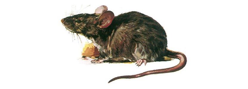 Mäuse bekämpfen durch Kammerjäger