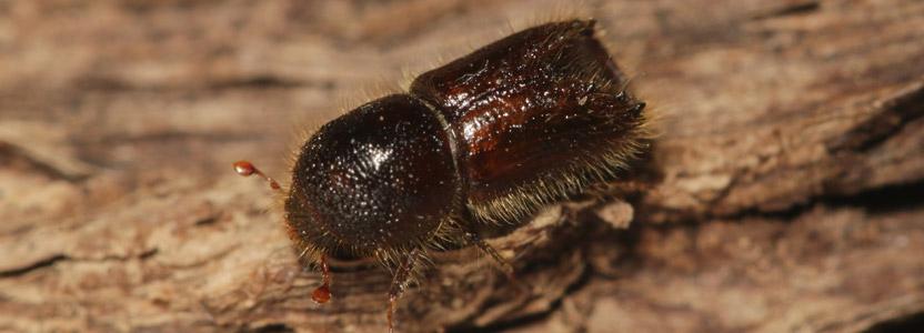 Nagekäfer bekämpfen durch Kammerjäger