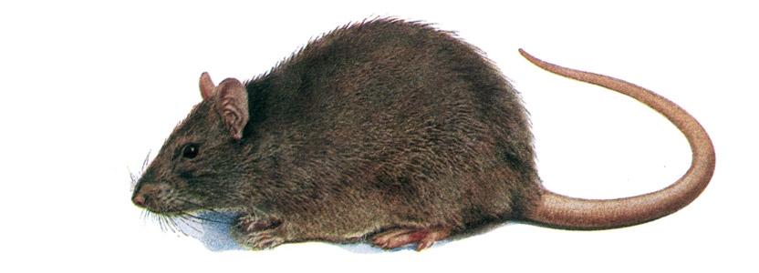 Ratten bekämpfen durch Kammerjäger