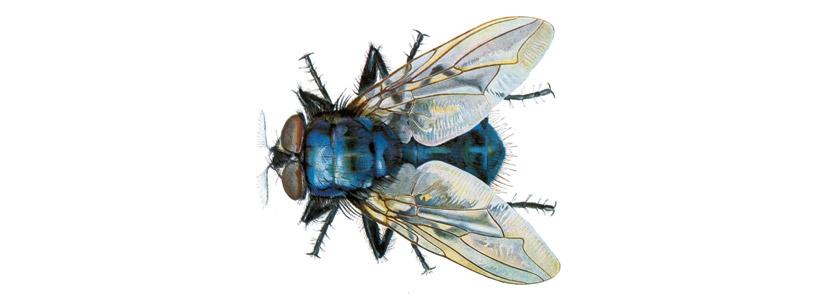 Schmeißfliegen bekämpfen durch Kammerjäger