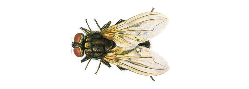Stubenfliegen bekämpfen durch Kammerjäger