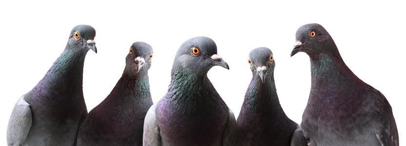 Taubenabwehr durch Kammerjäger