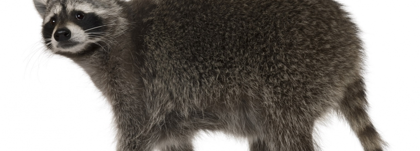 Waschbär bekämpfen durch Kammerjäger