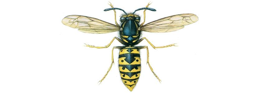 Wespen bekämpfen durch Kammerjäger